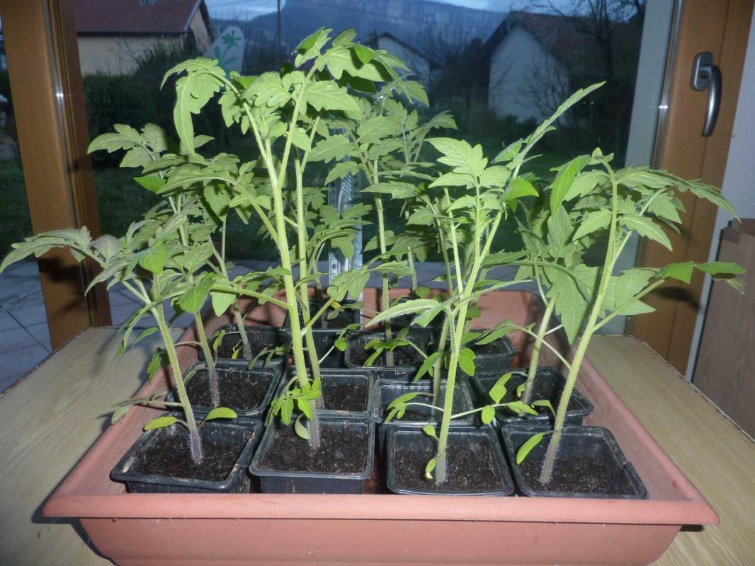 2016 04 05 tomatesisabelle resized